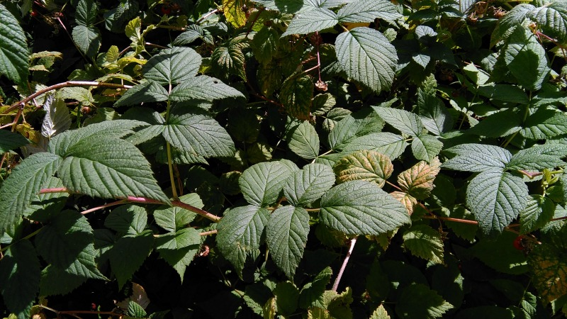 raspberry bush without berries